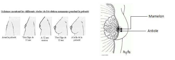Adolescent mamelon sexe