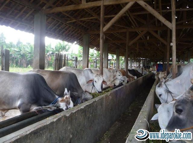 Budidaya dan Ternak Sapi Potong  Pemilihan Bibit, Menentukan Lokasi dan Pembuatan, Pemberian Pakan dan Perawatan