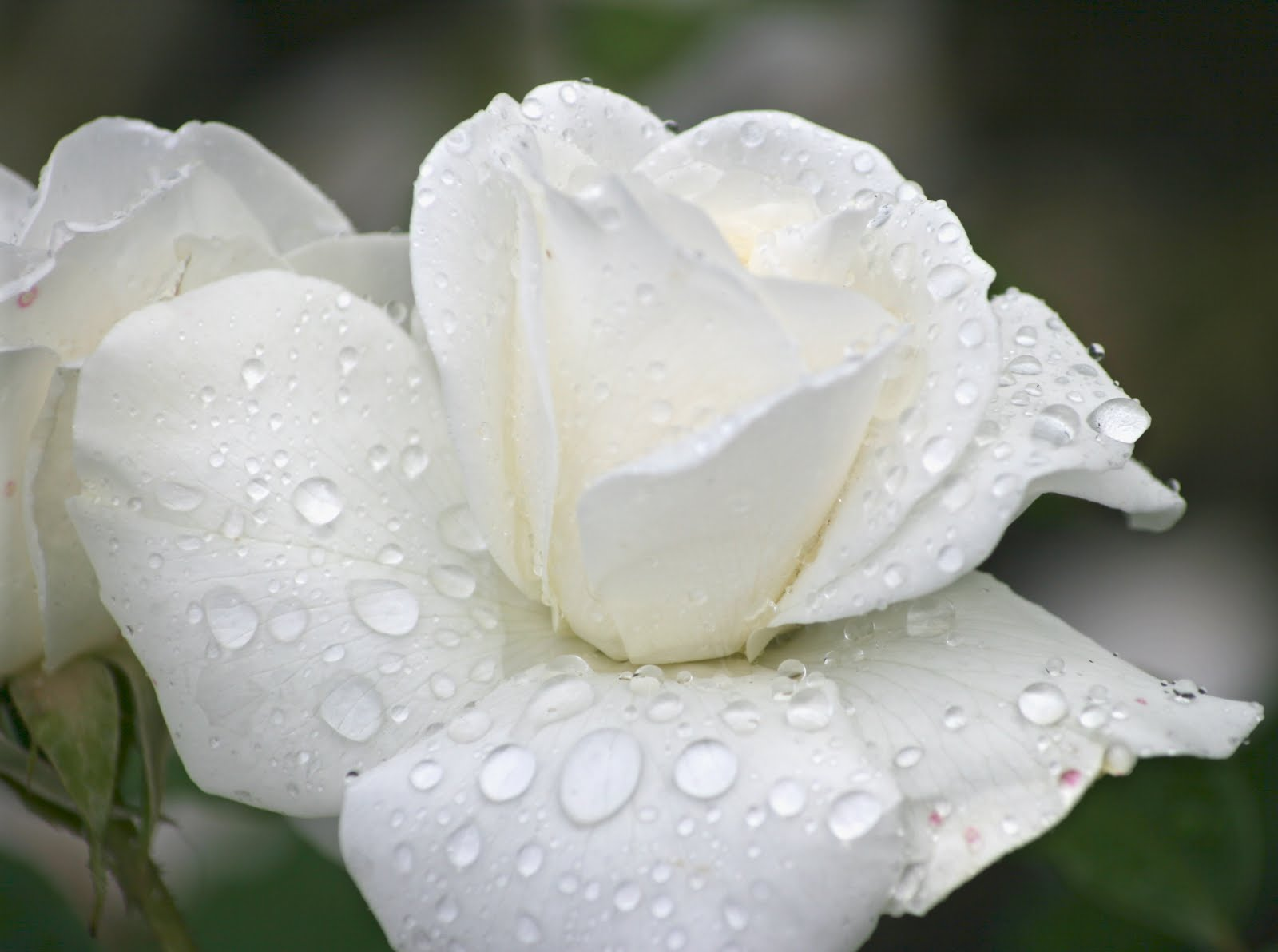 45 Most Beautiful White Flowers In The World That Are ...  |Beautiful White Rose Flowers