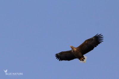 Pigargo europeo - White-tailed eagle - Haliaeetus albicilla. De aspecto enorme, con algo más de 2 metros de envergadura.