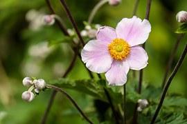 anemone-1610920__180.jpg