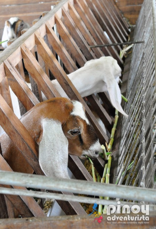 JSJ Goat Farms in Gerona Tarlac