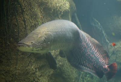 umpan ikan arapaima