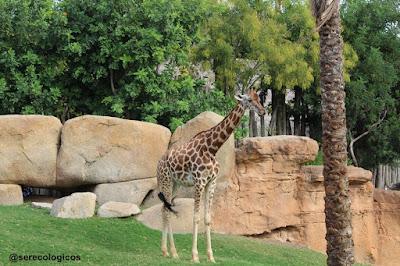 Jirafa,en riesgo de extinción