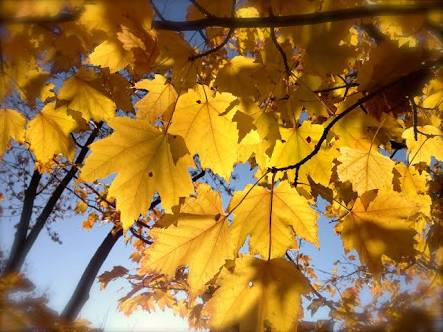 Trees_Having_yellow_leaves