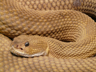 saw scaled viper,top 10 snakes