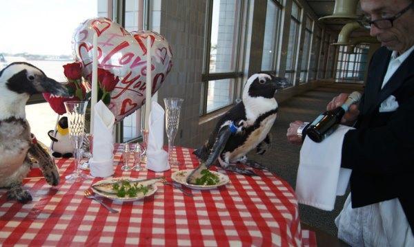 Phát hờn trước lễ kỉ niệm Valentine lần thứ 22 của cặp đôi chim cánh cụt