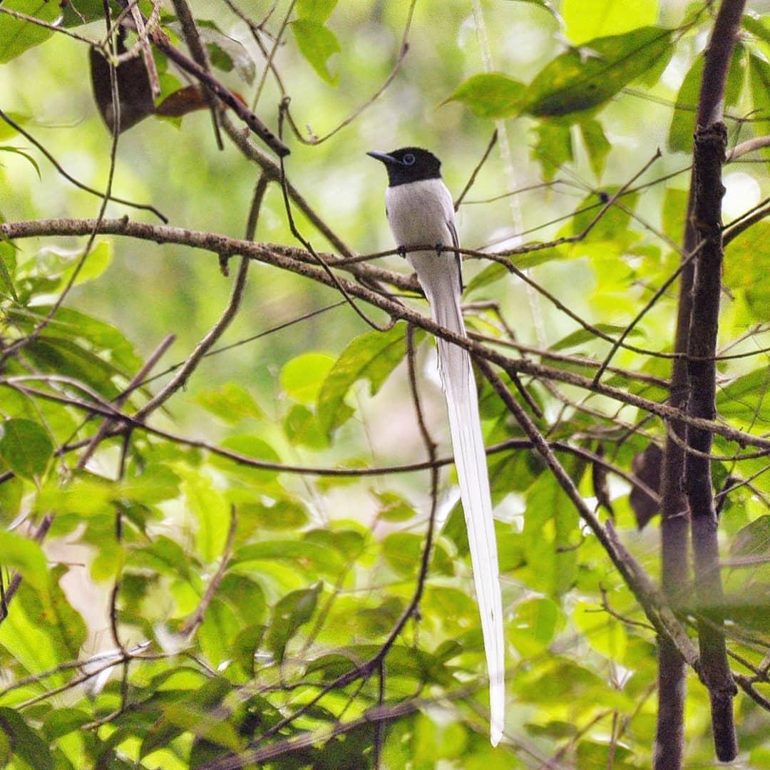 Mengenal Lebih Dekat dan Karakteristik Burung Tali Pocong Atau ...
