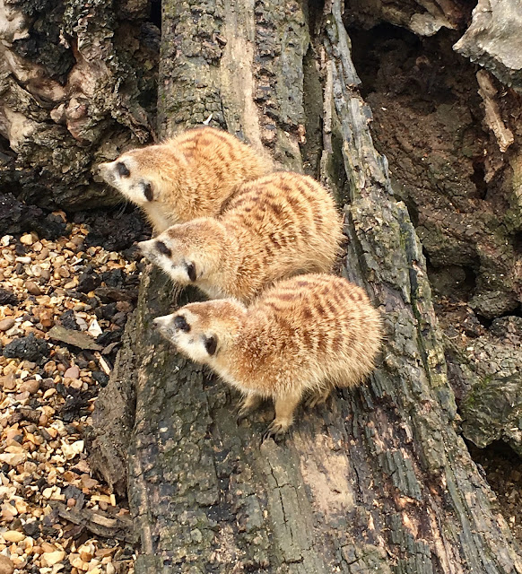 Meerkats at Hamerton Park Zoo