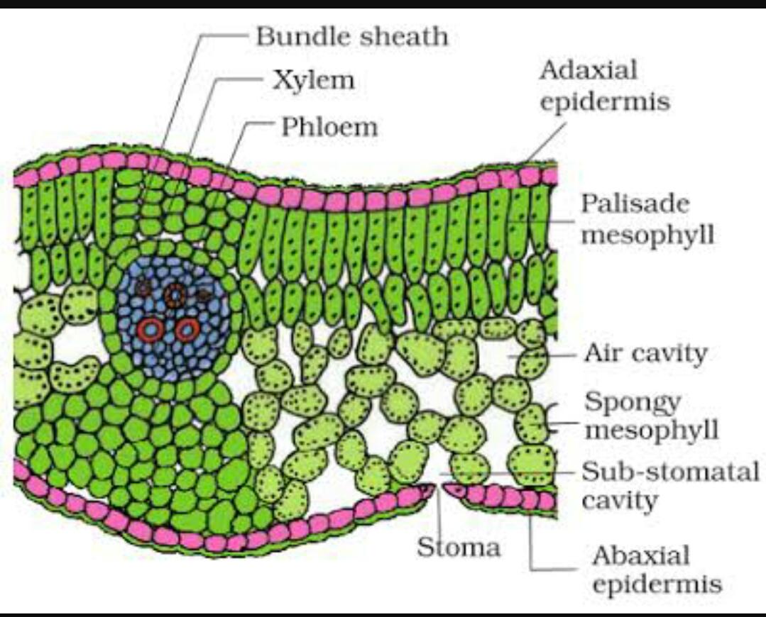 Biologistic Anatomy Of Dicot Leaf