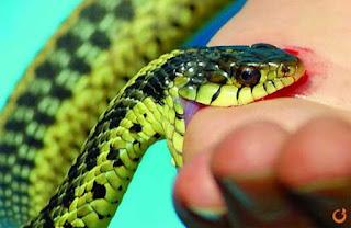 Cách sơ cứu cho người bị rắn cắn