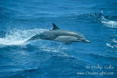 Delfín común Delphinus delphis