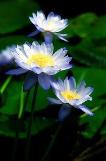 Gambar Bunga Teratai Terindah di Dunia 7