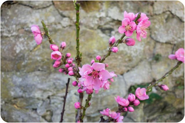 Fleurs de prunus persica
