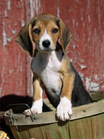 Cute Dogs Beagle Dog