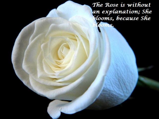 Roseday quotes