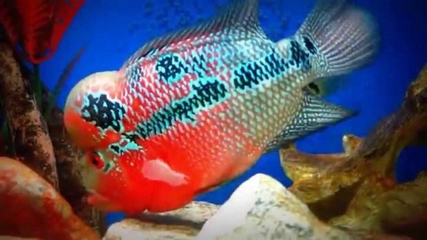 Ikan louhan pembawa hoki atau keberuntungan