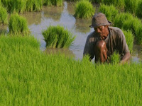 Subsidi Benih Padi Dihapus, Ketersediaan Pangan Terancam