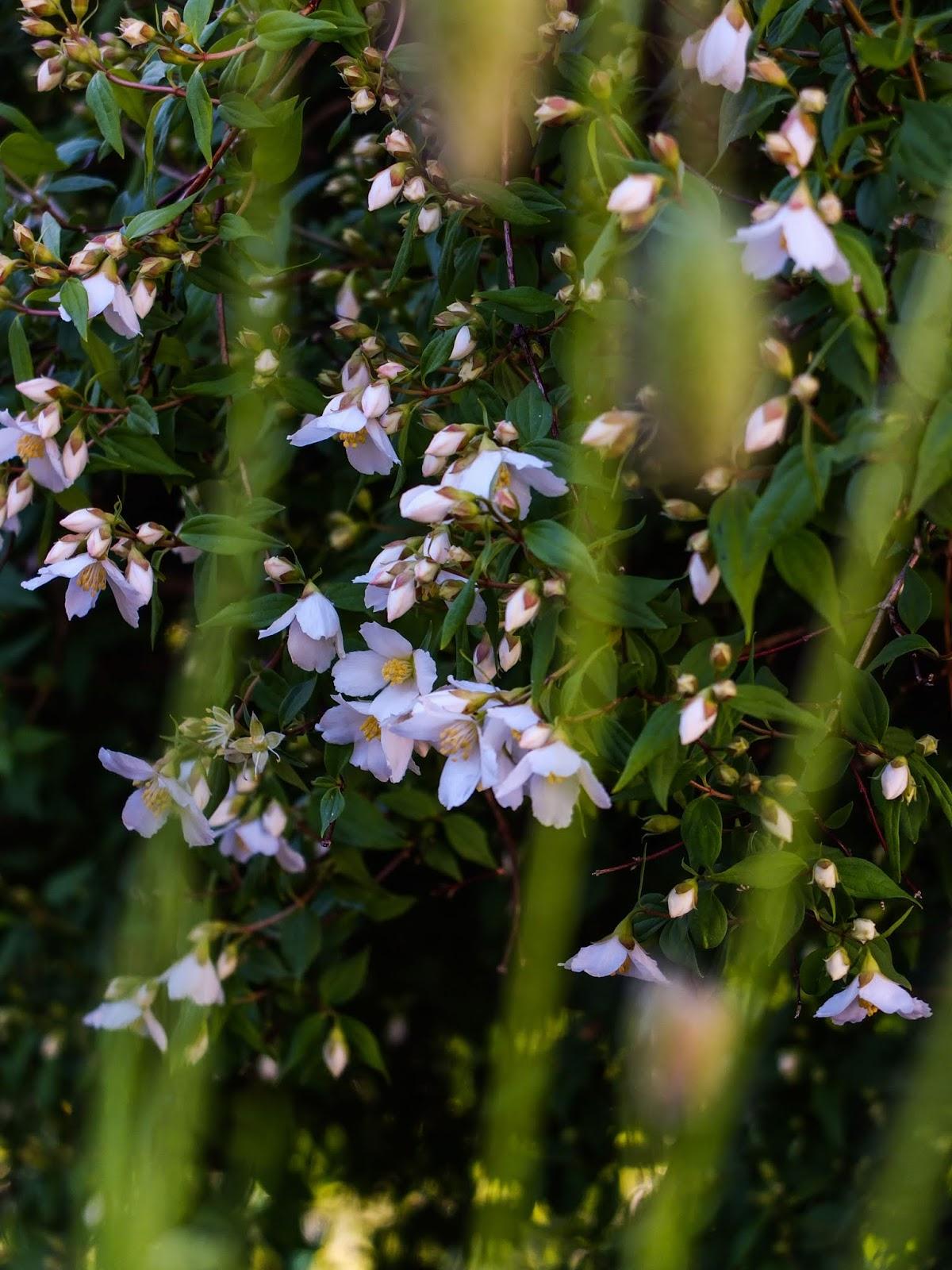 Jasmine flowers at sunset captured through grass blades.