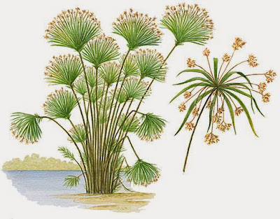 Resultado de imagem para papiro planta