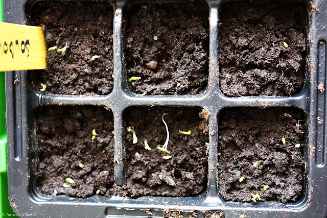 Yellow sunball seedlings popping up carefully