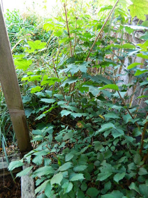 Little Italy Palmerston Toronto Back Yard Garden Cleanup before by Paul Jung Gardening Services
