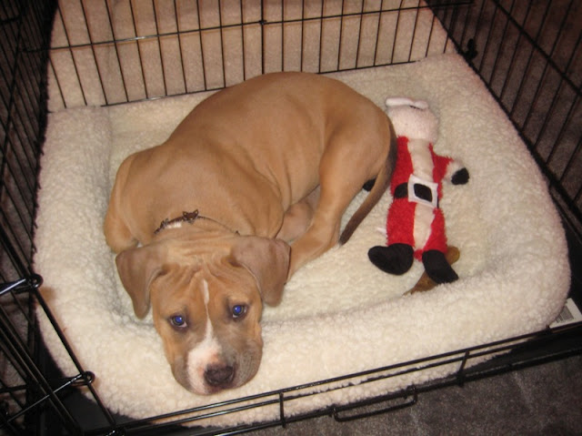 American Staffie puppy in a crate for house breaking