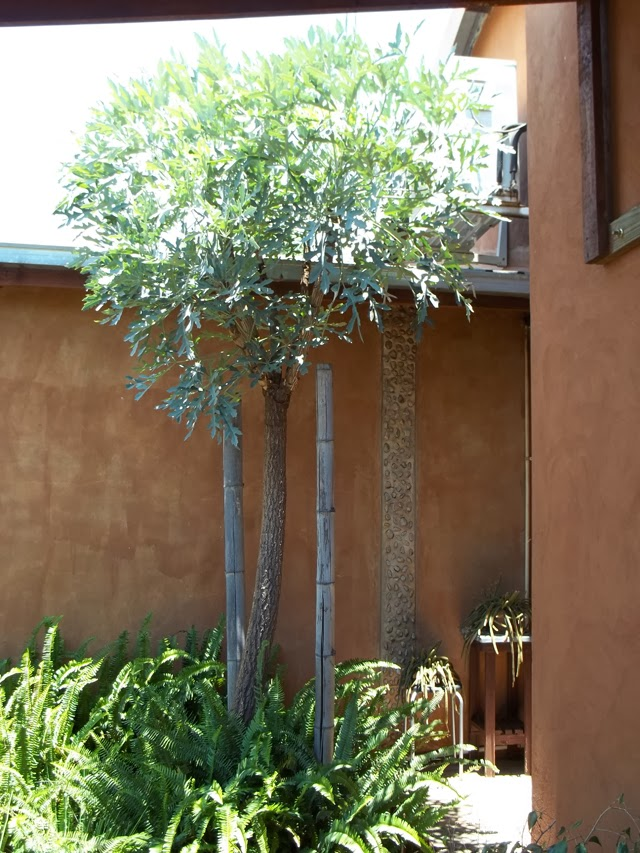 Unthinkable House Plant Tree. 2009 Gardening in Africa  Kiepersol Cabbage Tree Cussonia paniculata