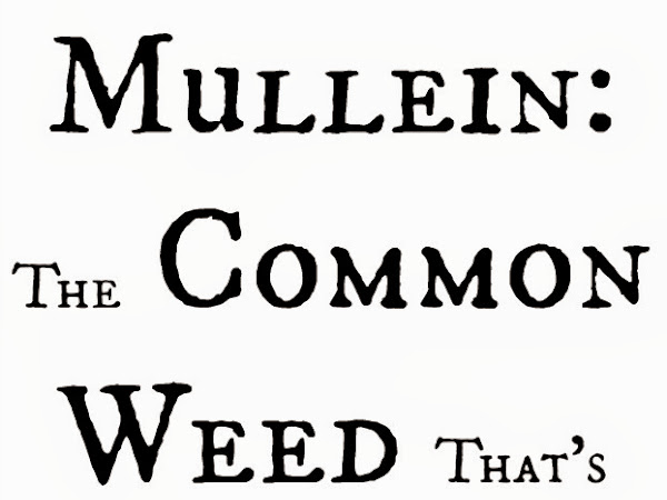 Mullein: The Common Weed That's Good Medicine