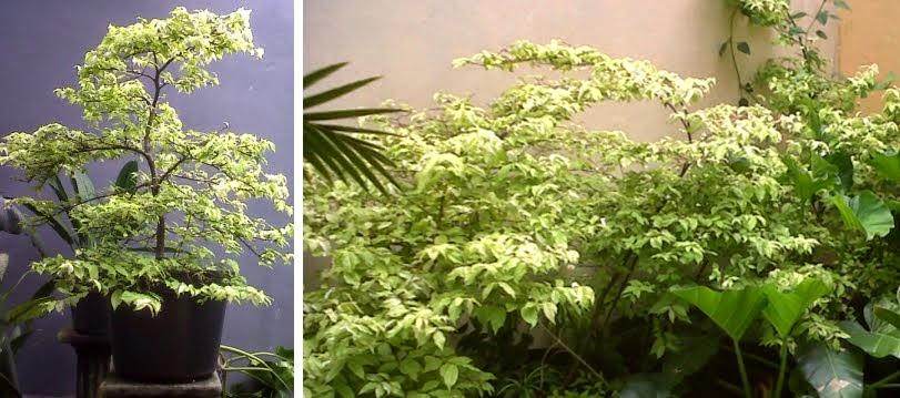 Jual Pohon Anting Putri Sp | Jual Pohon Bonsai Anting Putri | Jasa Tukang Taman Dibogor