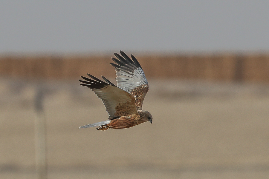 Western Marsh Harrier - male