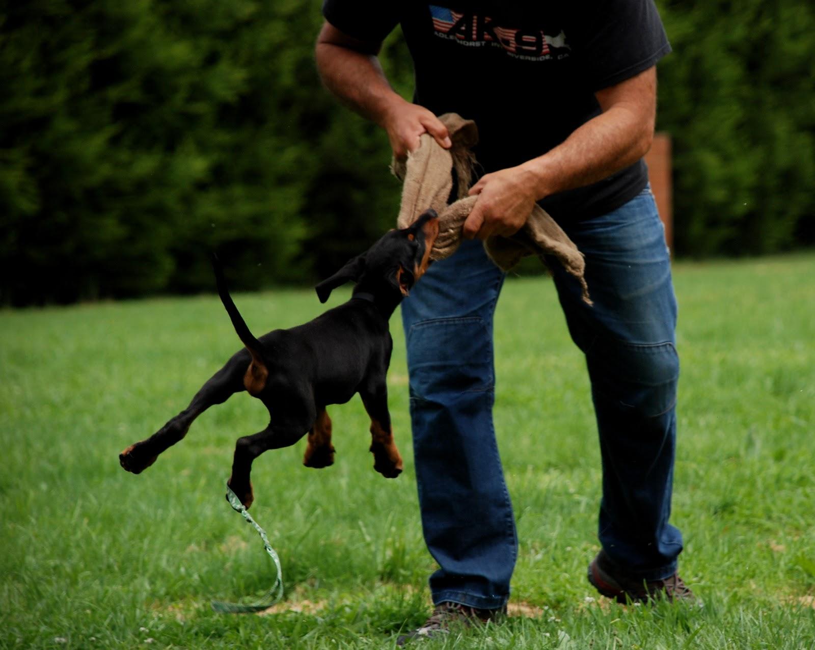 Largest Doberman Breeders Goldenacresdogs Com