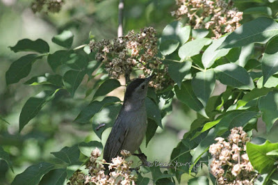 A catbird in a tree in Central Park. View Five.