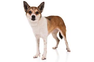 Anjing Ras Norwegian Lundehund