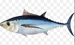 dan industry perikanan albakora penting secara ekonomi Kabar Terbaru- IKAN TUNA ALBAKORA
