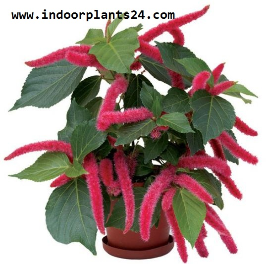 Acalypha hispida - Cat's Tail plants photos
