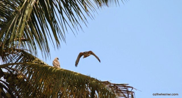 Red-Tailed Hawks at Everglades National Park