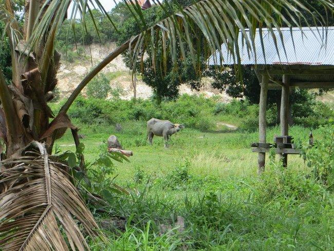 буйвол Таиланд