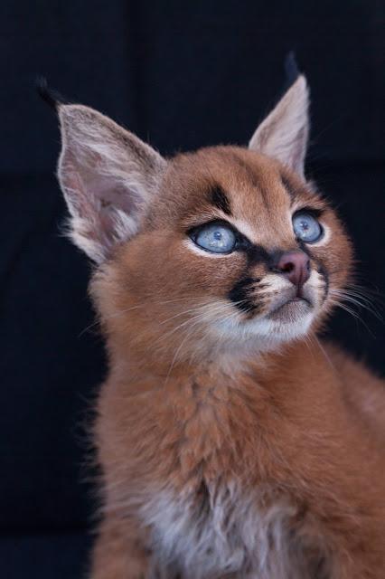 kucing caracal kucing paling eksotis di dunia-3