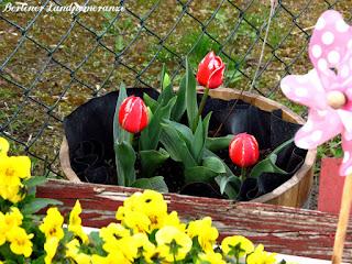 Tulpen im Fass
