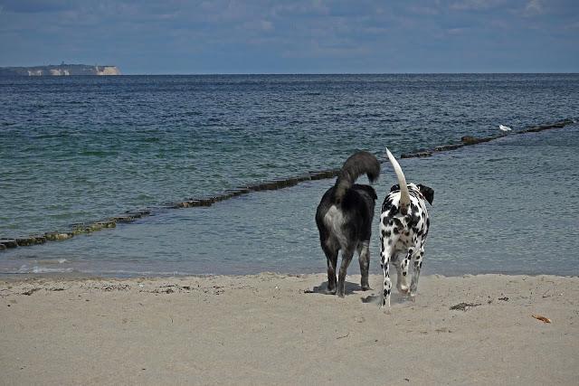 cães amigos caminhando pela praia