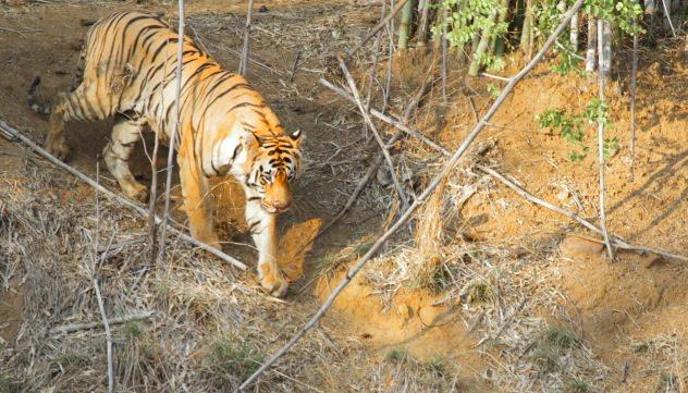 Matkasur Male tiger walks to a watering hole at Tadoba Andhari Tiger Reserve