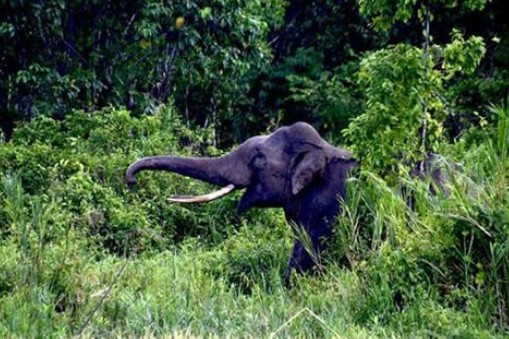 Siswa SD dan SMP Satu Atap Sarahmane Ketakutan Pergi Sekolah Karena Banyak Gajah Liar Yang Berkeliaran di Desa Meraka