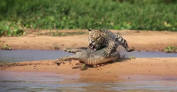 The ambush attack to the Crocodile takes place.