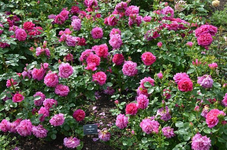 Rosa Princess Anne (Auskitchen) Rosas inglesas en una abadía francesa. Rosaleda David Austin en Abbaye de Morienval, Francia