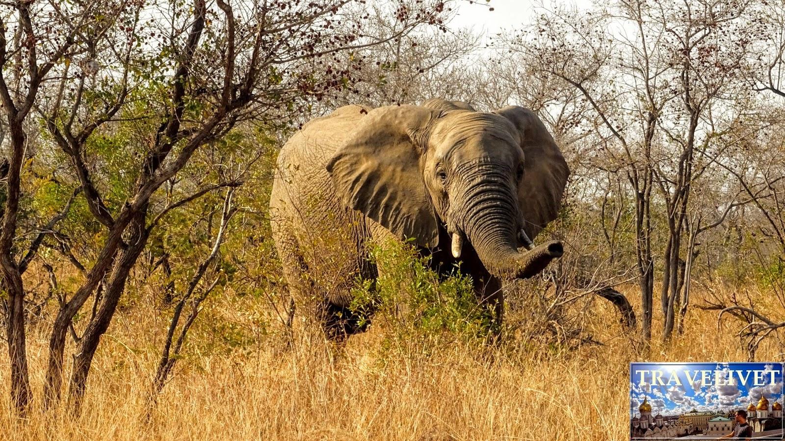 Afrique du sud Parc Kruger éléphants