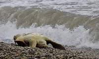 Νεκρή καρέτα καρέτα σε παραλία του Άργους