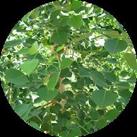 Herbal Rosewood dalam ICP capsule