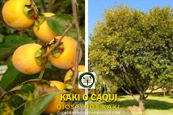 Diospyros kaki, es un árbol de hoja caduca que no suele superar los 10 metros de altura.