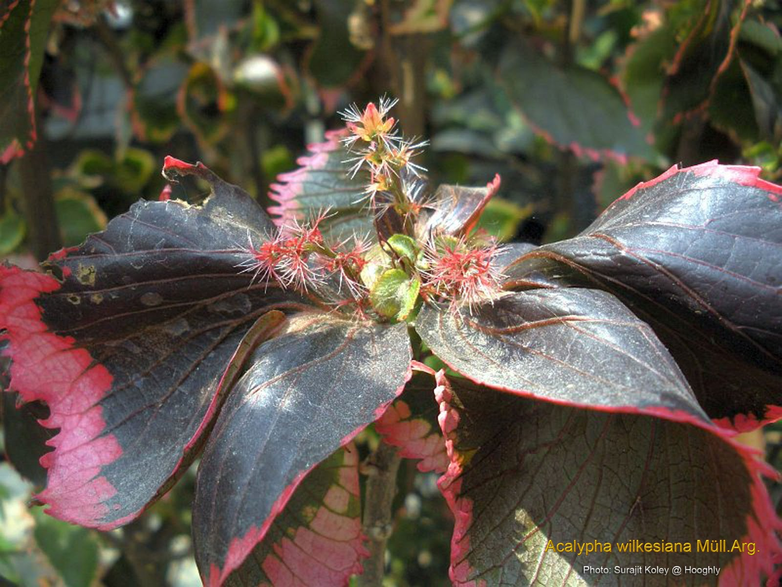 Medicinal Plants Acalypha Wilkesiana